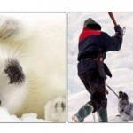 Destroy the Canadian Harp Seal Hunt : 13 year olds plea.
