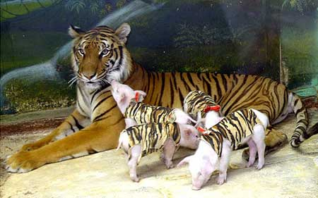 Pig and Tiger Love Compatibility Horoscope