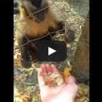 Adorable Rescued Monkey Wants You to Crush All The Leaves NOW! Watch…