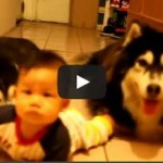 Two husky dogs imitating the baby!