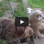 Gentle Owl is curious and Desperate to Be Friends with Shaggy Dog (VIDEO)