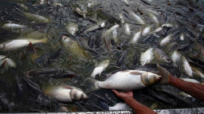 Imported chinese tilapia are raised on feces for Tilapia fish farming