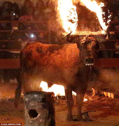 LIVE BULL TO BE SET ON FIRE-Help Stop the Sadistic 'Fire Bull' Festival in Soria