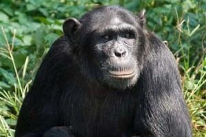 Natasha, 'Genius Chimp,' Aces Intelligence Tests