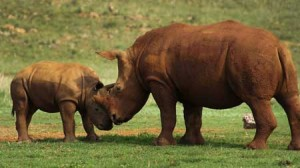 790 Rhinos Poached This Year in South Africa