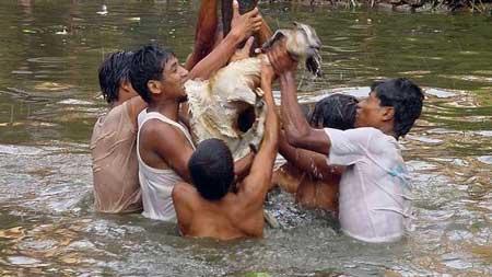 Goats at the Khokana Festivals in Nepal