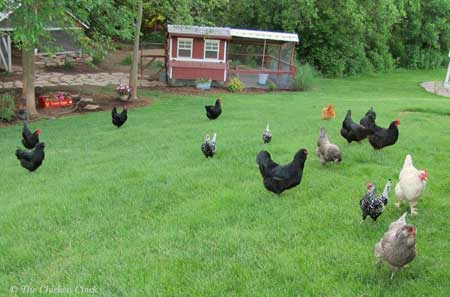 """Animal Lover Goes to """"Crazy"""" Extreme to Save Chickens from Your Dinner Plate"""