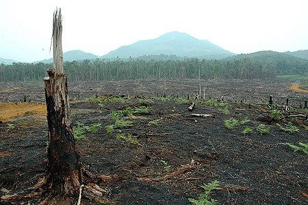 The destruction of Indonesia's exquisite rainforests for palm oil plantations are destroying precious habitat for endangered orangutans, tigers, rhinos and elephants.