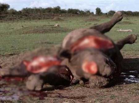 A bloody rhino dehorned -- one of tens of thousands of brutal examples of bloody thirsty poachers annihilating these exquisite beasts.