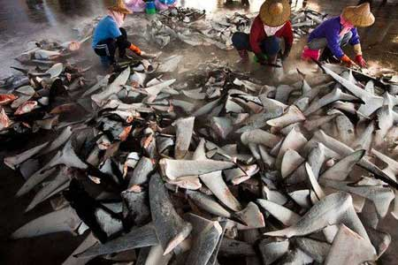 The insatiable Oriental demand for sharkfins used in sharkfin soup is driving sharks to extinction after successfully standing the test of time for 400 million years.