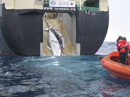 The ignoble Japanese whale-slaughtering factory-processing ship The Nissan Maru in the Great Southern Ocean International Whale Sanctuary.