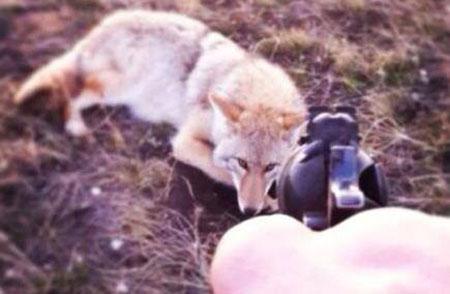 Coyote Killing