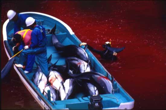 AP Photo/Brooke McDonald, Sea Shepherd Conservation Society