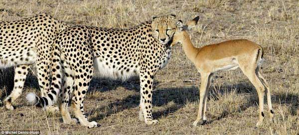 Three Cheetahs & their antelope Dinner