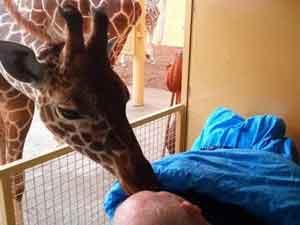 kiss from giraffe