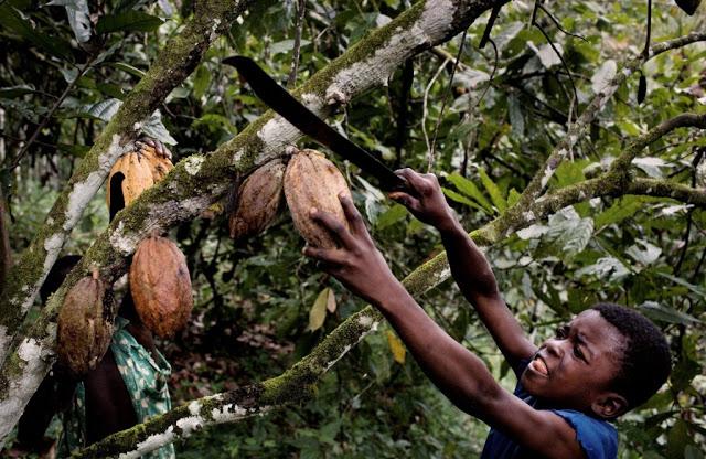 Elfenbeinkueste, Sinikosson, Kakaoplantage, Kakao, Plantage, Anbau, Landwirtschaft, Junge, Portrait, Kind, Kinderportrait, Kinderarbeit, Einheimischer, Bevoelkerung, Westafrika, Afrika, 02.10.2008. QFEnglish: Ivory Coast, Sinikosson, cocoa plantation, agriculture, cultivation, boy, portrait, child labour, chocolate, West Africa, October 2, 2008.11 year old Ibra, using a machete tied to a stick to harvest cocoa pods from a tree on father's cocoa plantation on outskirts of village of Sinikosson.He does not attend school, work begins at 8 am.  He has no idea what happens to the cocoa beans.||Kakao an der Elfenbeinkueste.Der 11-jaehrige Ibra erntet mit seiner Machete reife Kakaofruechte auf der Kakaoplantage seines Vaters am Rande des Dorfs Sinikosson.Er besucht keine Schule, die Arbeit beginnt in der Regel um 8 Uhr morgens und umfa??t das abschneiden der Fruechte, einsammeln, mit der Machete aufschlagen, Bohnen entnehmen...Die Familie lebt von der Hand in den Mund und kann keinerlei Ruecklagen bilden.Der Verkauf der Kakaobohnen bildet fuer sie die einzige veritable Einnahmequelle.Ibra weiss nicht was anschliessend mit den Bohnen geschieht.Kakao ist der Grundstoff zur Herstellung von Schokolade.Das Land ist weltgroesster Kakaoproduzent und -exporteur, mit einer Ernte von ca. 1 Million Tonnen in 2008. Damit hat es einen Anteil von ca. 34 % der weltweiten Gesamtproduktion.Hauptsaechlich bedingt durch Koruption in Regierung und Kakaobehoerden und dem Eigeninteresse multinationaler Konzerne (Cargill, ADM, Callebaut, Nestl?Ê) ist das Einkommen der Erzeuger  (Kleinbauern) kaum existenzsichernd.Als direkte Folge und mangels Alternativen sind Kinderarbeit und Ausbeutung, bis hin zu Kinderhandel, weit verbreitet. Schulen, Krankenhaeuser, fliessendes Wasser, Strom, Telekommunikation und ausgebaute Strassen existieren in gro??en Teilen der Anbaugebiete nicht.Als Kakao bezeichnet man die Samen des Kakaobaumes (Kakaobohnen). Die reifen, je nach Sorte gr??ngelb bi