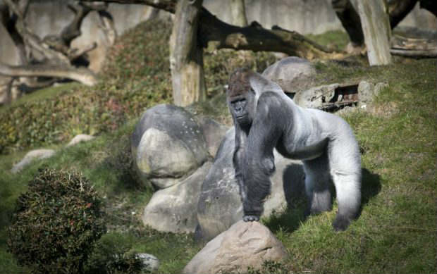 A gorilla similar to Harambe (Source: Jerry Lampen/AFP/Getty Images)